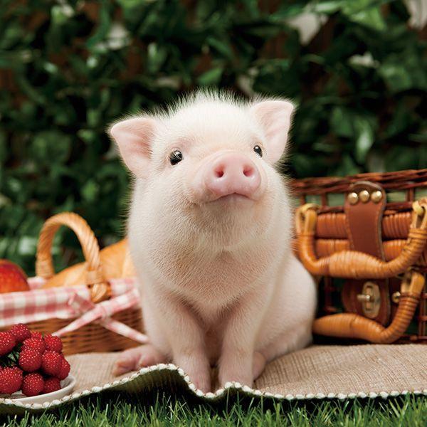 Подруге юбилеем, картинка свинки прикольная